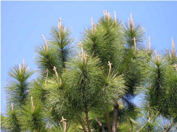 pine_crosses.jpg