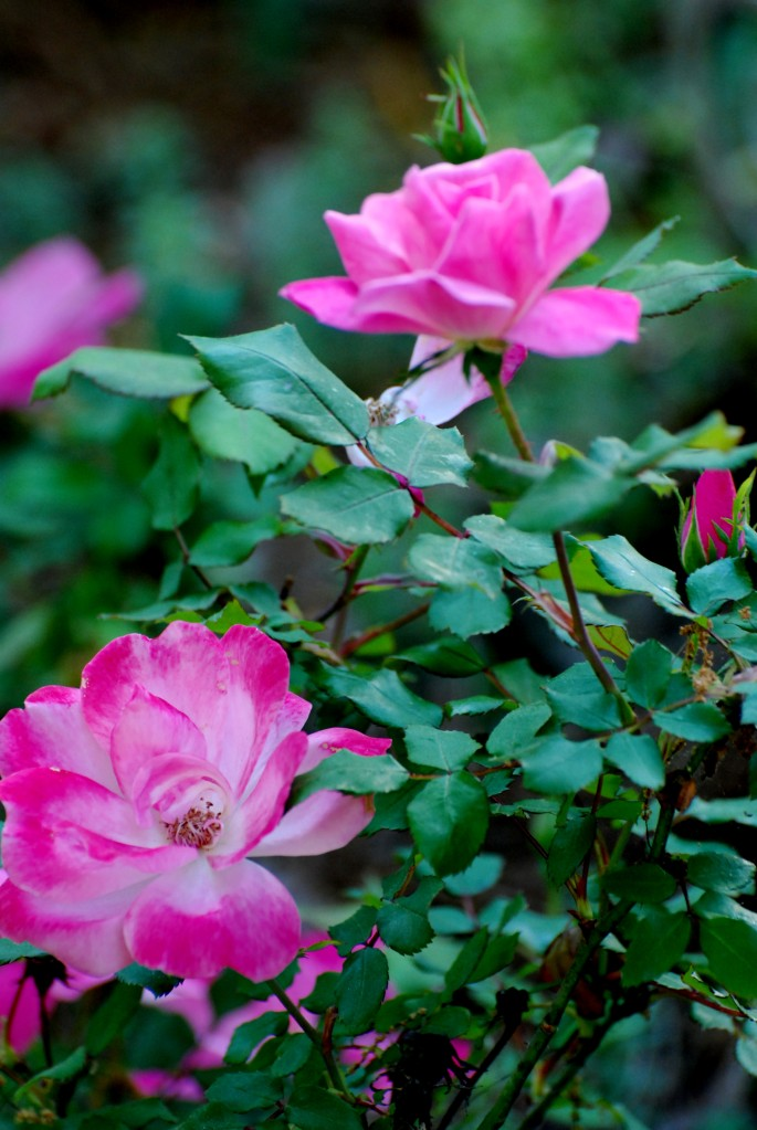 Love Garden Roses: Cottage In The Oaks